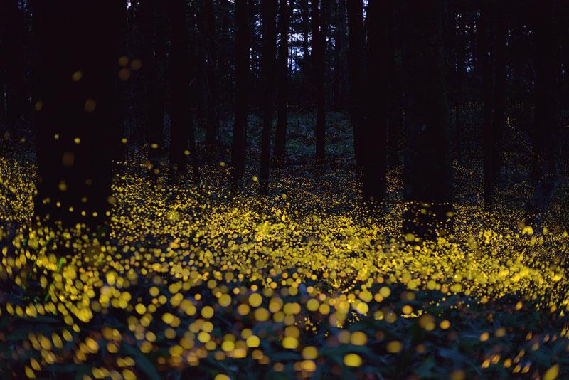 long-exposure-photos-of-fireflies-at-night-Tsuneaki Hiramatsu (3)