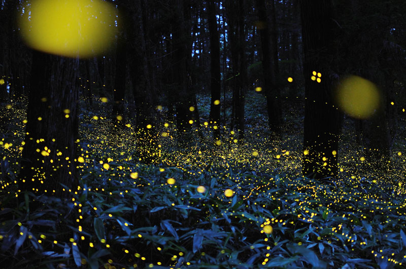 long-exposure-photos-of-fireflies-at-night-Tsuneaki Hiramatsu (5)