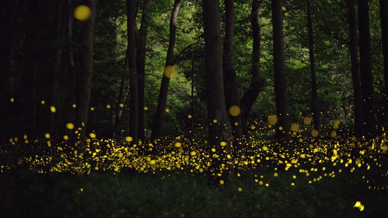long-exposure-photos-of-fireflies-at-night-Tsuneaki Hiramatsu (6)