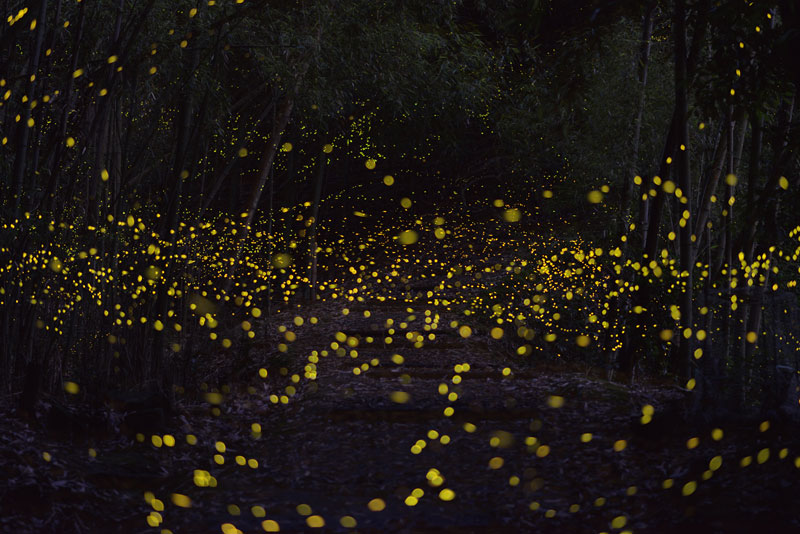 long-exposure-photos-of-fireflies-at-night-Tsuneaki Hiramatsu (7)