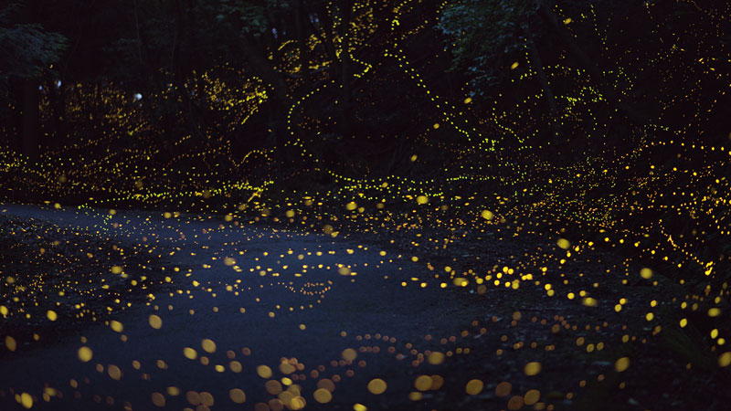 long-exposure-photos-of-fireflies-at-night-Tsuneaki Hiramatsu (9)