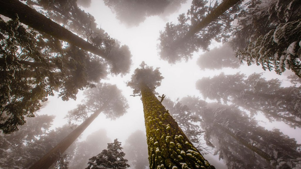 Picture of the Day: Looking Up to Giant Sequoias