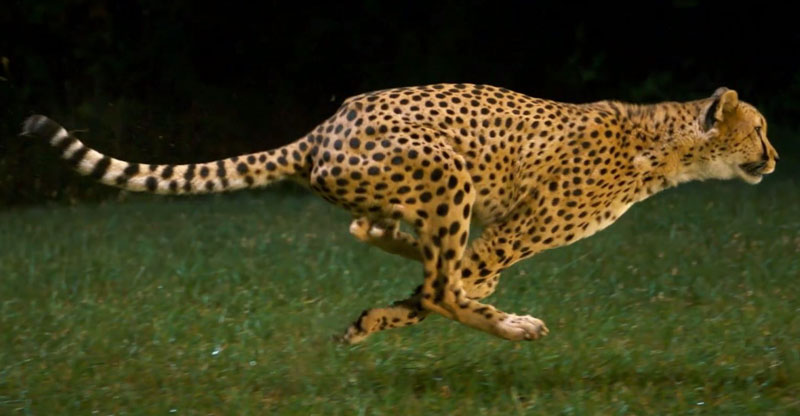 Cheetah Running Full Speed