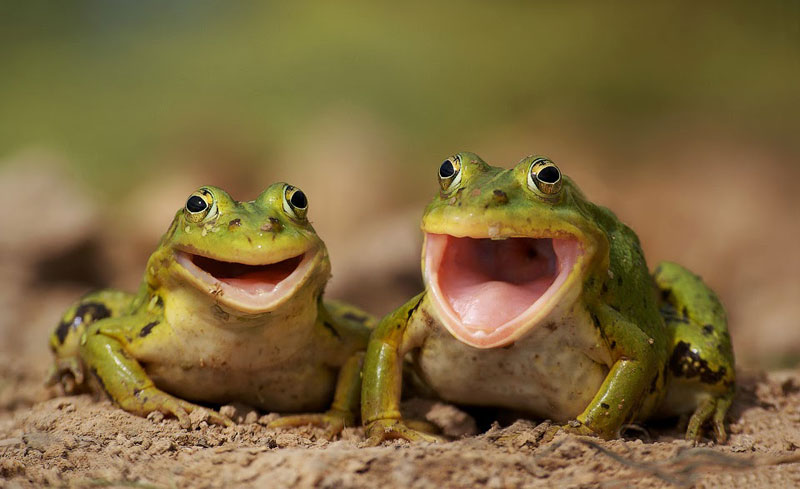 two-frogs-smiling