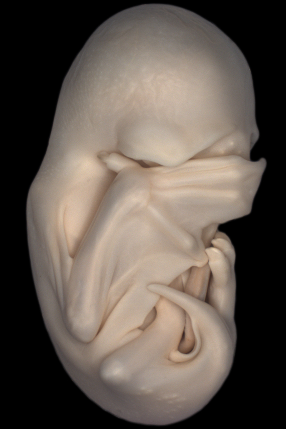 2013-2-Hockman-bat-embryo
