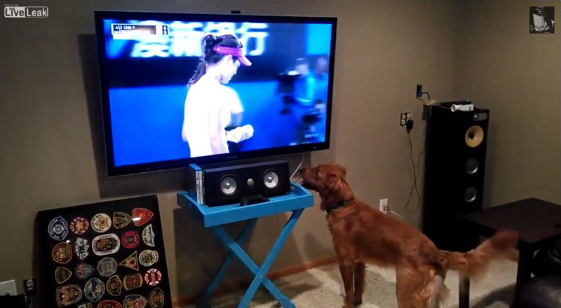 This Dog Loves Watching Tennis Because He Thinks They're Going to Throw Him theBall