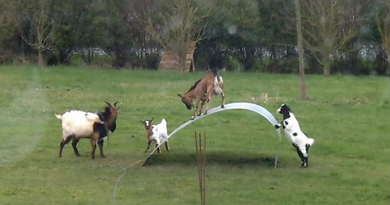 If These Goats On A Steel Ribbon Dont Cheer You Up Nothing Will