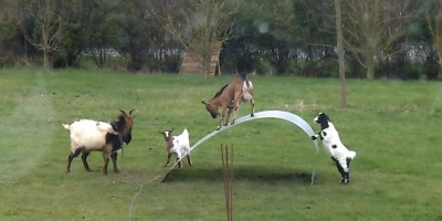 If These Goats on a Steel Ribbon Don't Cheer You Up, NothingWill