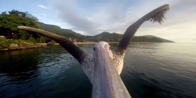 These Guys Strapped a GoPro to a Pelican that Forgot How to Fly. This is His FirstFlight