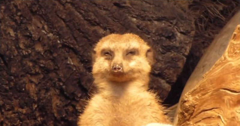 This Meerkat Trying Not to Fall Asleep is the Best Thing You Will SeeToday