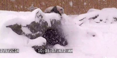 Security Cam Catches Giant Panda Having Best Time Ever DuringSnowstorm