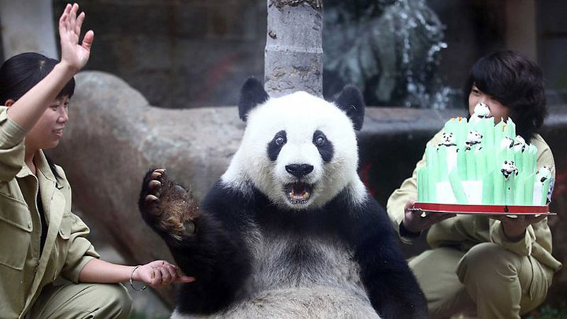 the panda bear report The giant panda is an endangered species according to the latest report, china  has 239 giant pandas in captivity (128 of them in wolong and 67 in chengdu).