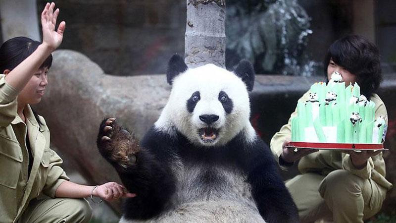 surprised panda bear The Shirk Report   Volume 255