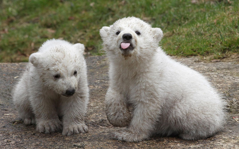 baby polar bears sticking tongue out The Shirk Report   Volume 259