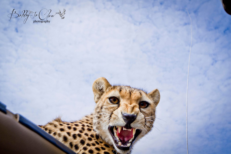 close encounter with a curious cheetah (1)