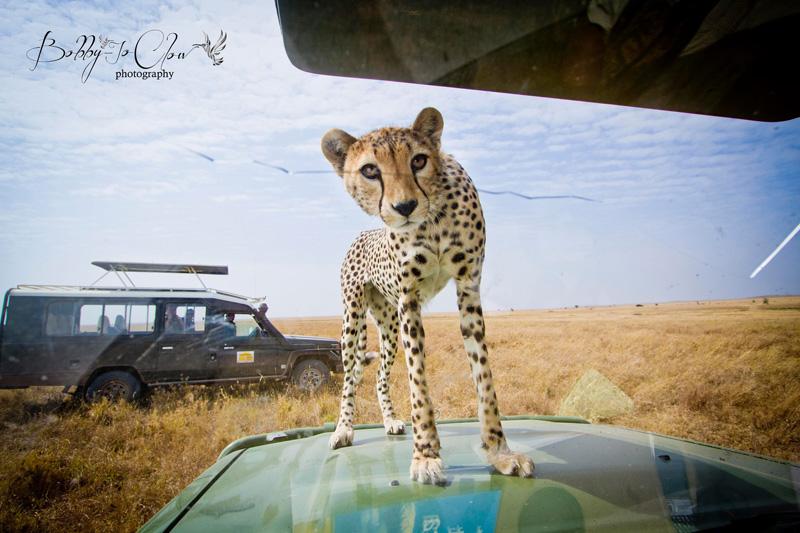 close encounter with a curious cheetah (2)