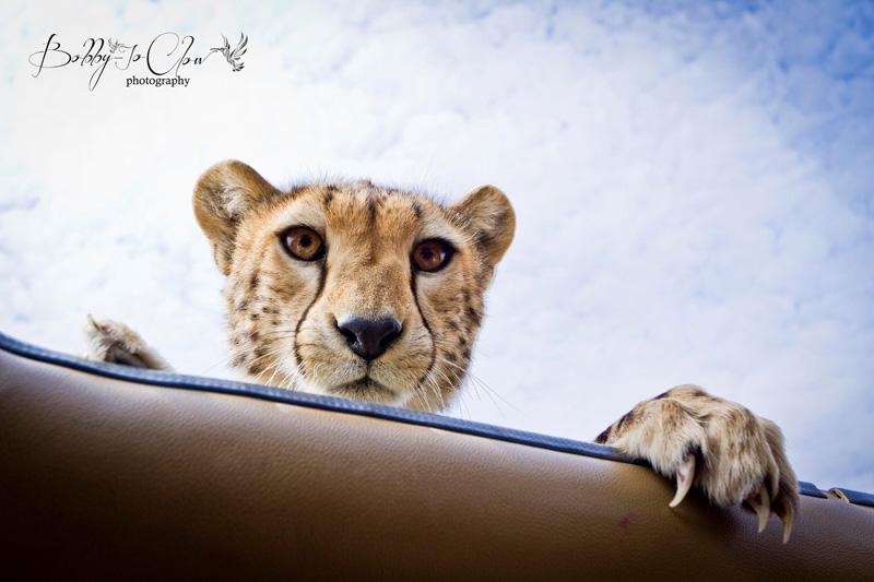 close encounter with a curious cheetah (3)
