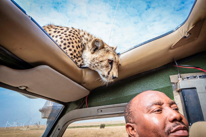 A Close Encounter With A Curious Cheetah