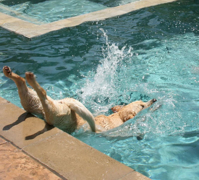 dog diving into water funny perfect timing The Shirk Report   Volume 257