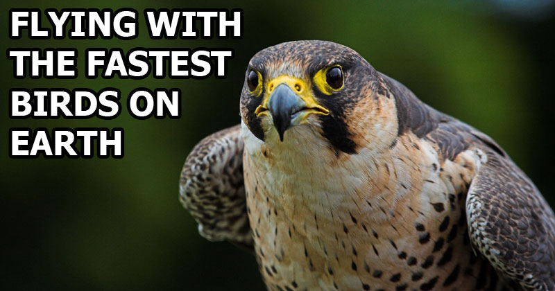 Flying With the Fastest Birds on thePlanet
