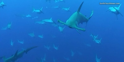This is What It's Like to be Surrounded by Hammerhead Sharks