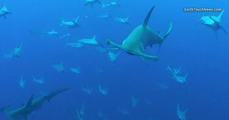 This is What It's Like to be Surrounded by HammerheadSharks