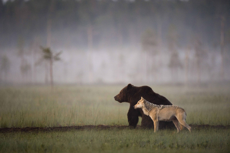 bear and wolf odd couple by lassi rautiainen Highlights from the 2015 Nat Geo Traveler Photo Contest