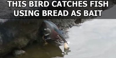This Bird Catches Fish Using Bread as Bait
