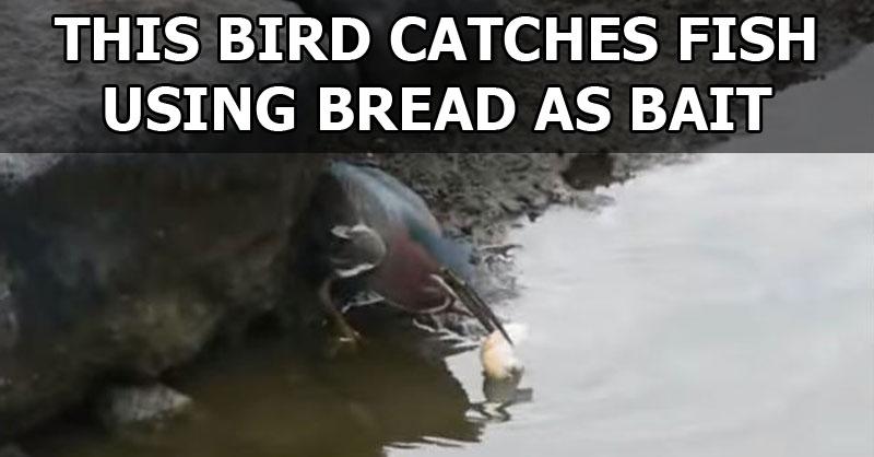 This Bird Catches Fish Using Bread asBait