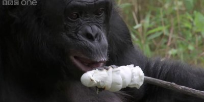 Kanzi, a Male Bonobo, Learns How to Build a Fire and Toast Marshmallows