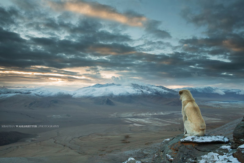 himalayan-dog-on-mountain-looking-out-sebastian wahlhuetter