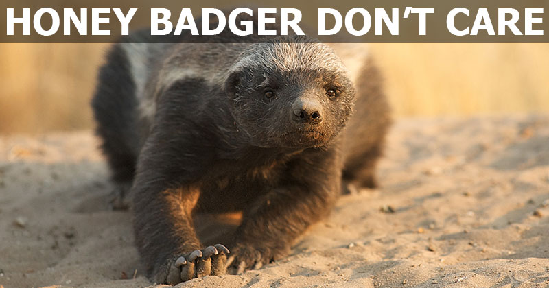 In Addition to Not Caring, Honey Badgers are Also Quite Clever