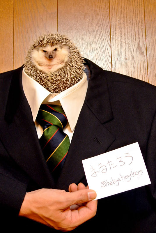 marutaro the pygmy hedehog on twitter (11)