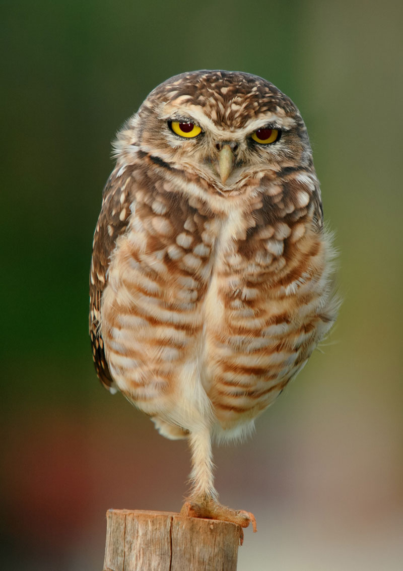 Picture of the Day Just an Owl Standing on One Foot TwistedSifter