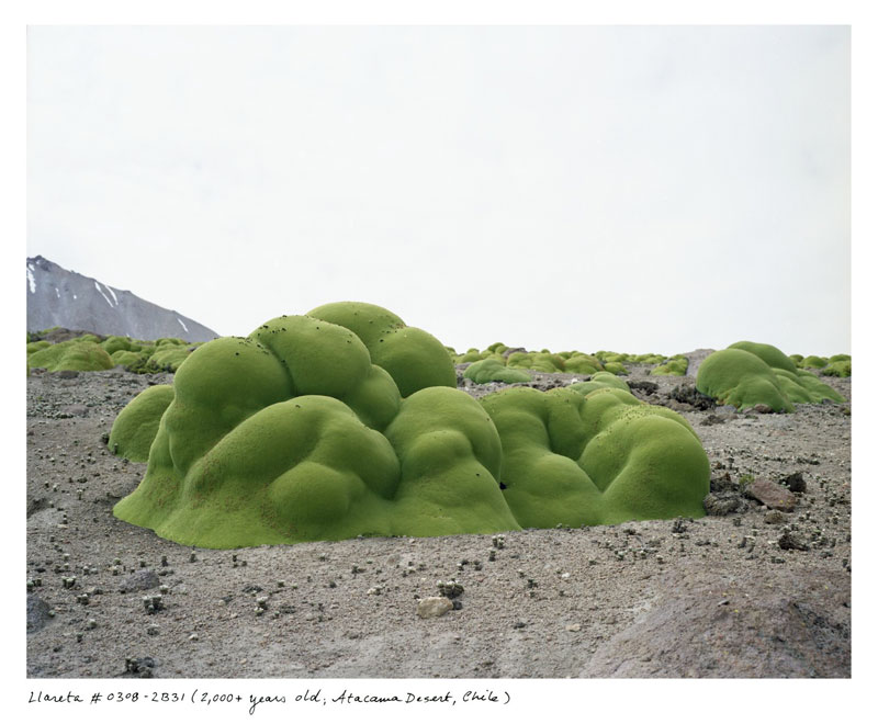 the oldest living things in the world by rachel sussman (5)