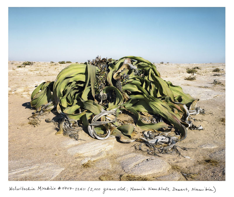 the oldest living things in the world by rachel sussman (6)