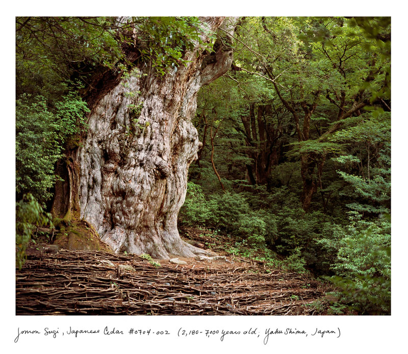 the oldest living things in the world by rachel sussman (7)