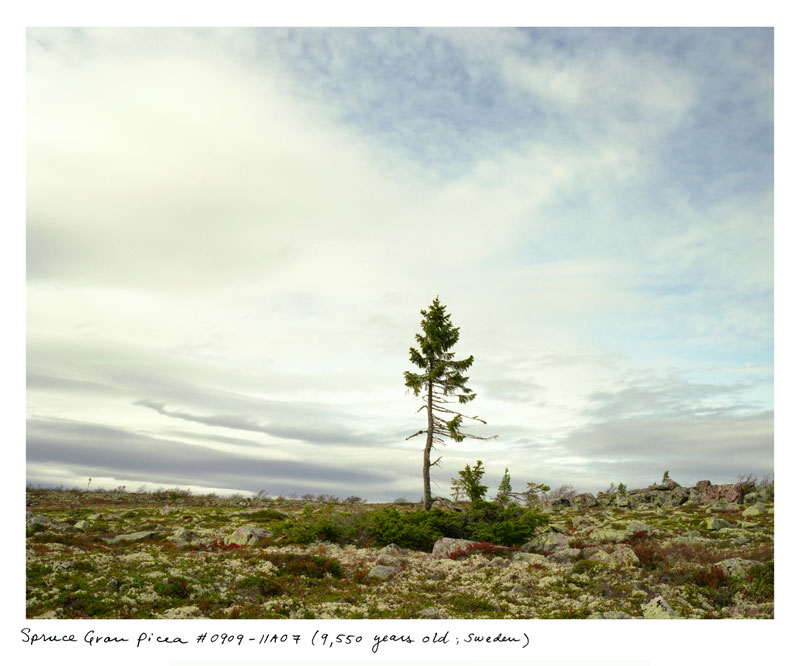the oldest living things in the world by rachel sussman (8)