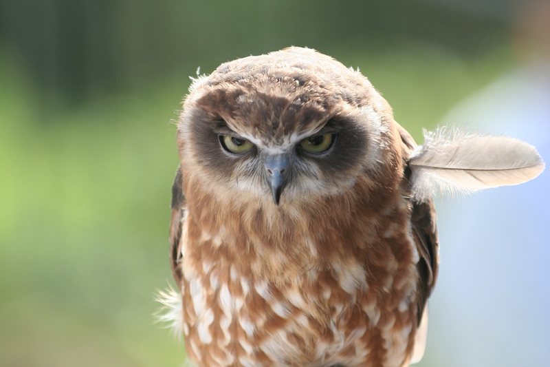 angry owl feather sticking out Picture of the Day: Angry Bird