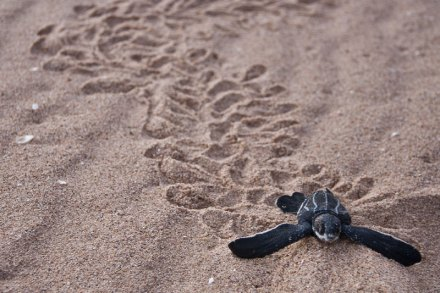 baby-leatherback-sea-turtle