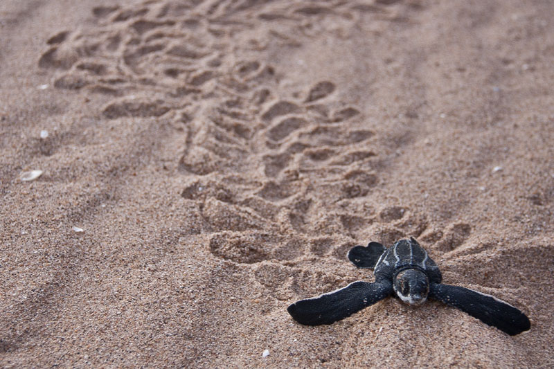 baby leatherback sea turtle 10 Tiny Versions of Very Large Things