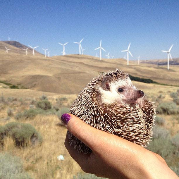 biddy the hedgehog world traveler instagram (11)