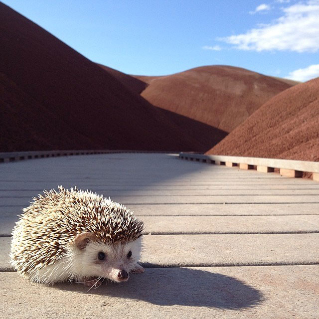 biddy the hedgehog world traveler instagram (13)