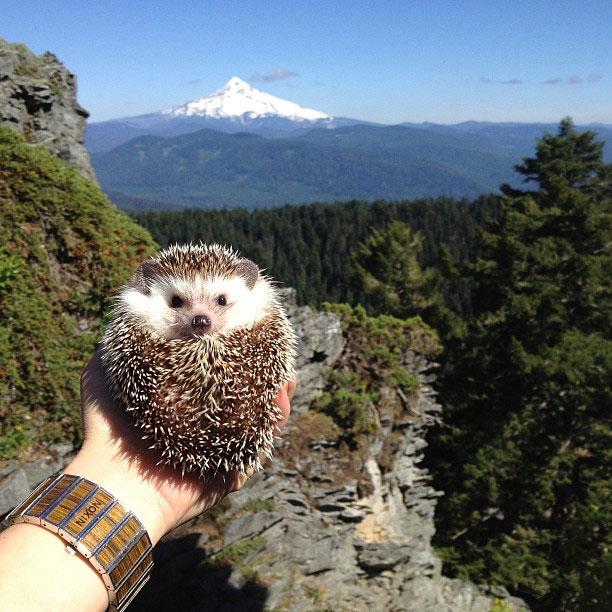 biddy the hedgehog world traveler instagram (15)