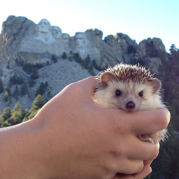 biddy the hedgehog world traveler instagram (6)