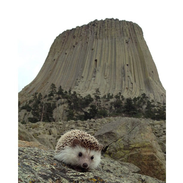 biddy the hedgehog world traveler instagram (8)