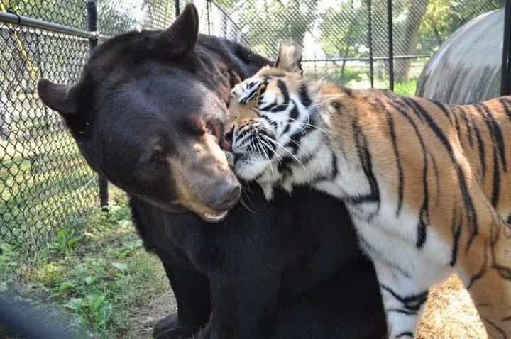 blt bear lion tiger noah's ark rescue (1)