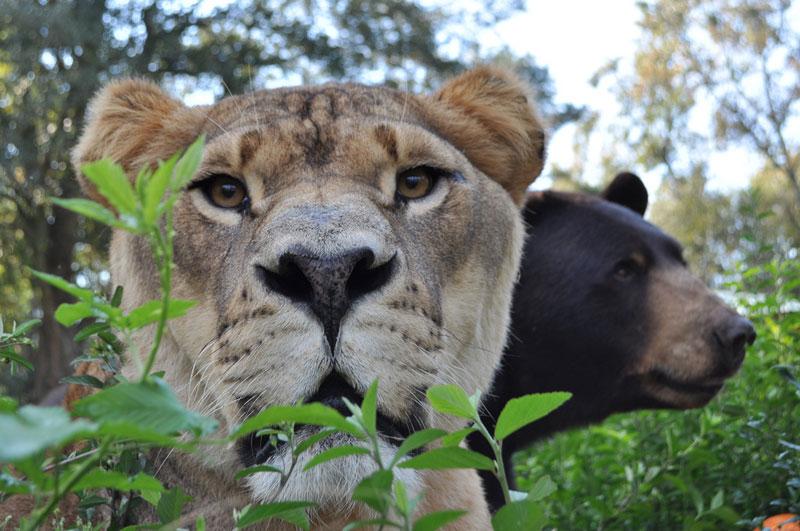 blt bear lion tiger noah's ark rescue (10)