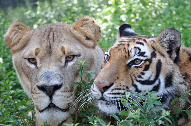 rescate arca blt león del oso del tigre de Noé (11)