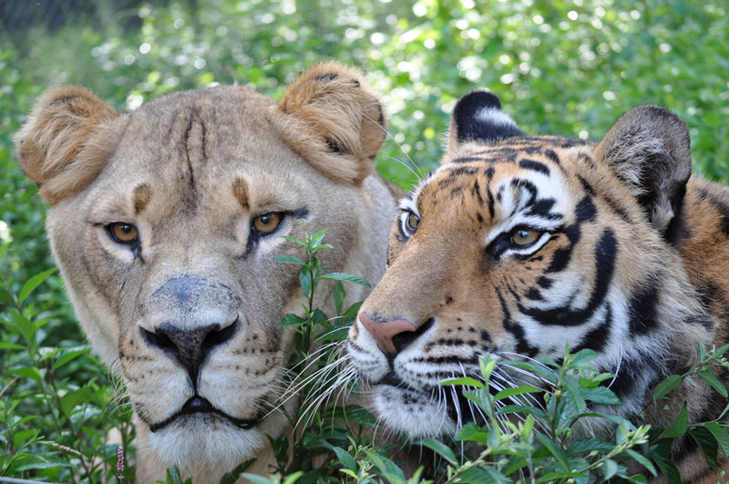The Story Of Leo Baloo And Shere Khan The Inseparable Bond - Lion tiger bear best friends